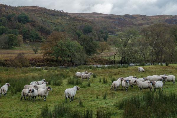 Schafe am Strassenrand