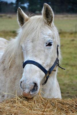 Pferd auf Föhr