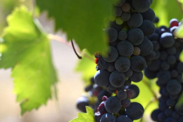 Weintrauben Chianti