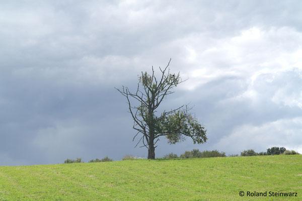 Er lebt noch: Ein alter Kirschbaum