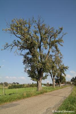 Einer der ältesten Obstbäume des Rhein-Sieg-Kreises: eine 250 Jahre alte Ölligsbirne bei Söven