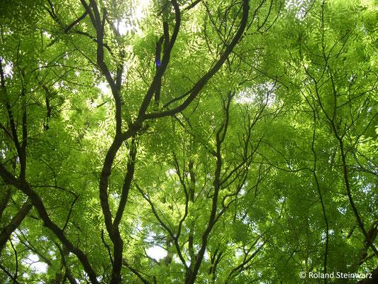 Blätterdach zweier Eschen