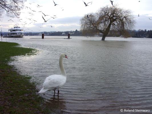 Schwan am Rheinufer