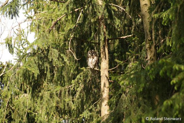 Ein Waldkauz-Elterntier passt auf den Jungvogel auf