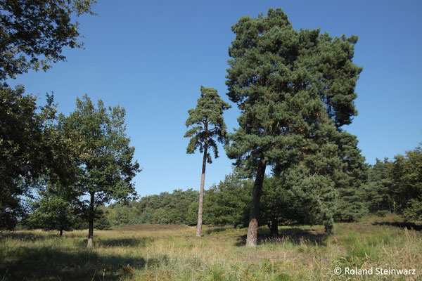 Eichen und Kiefern in der Wahner Heide