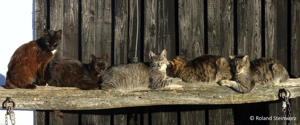 Katzen sonnen sich auf einem Anbindebalken. 2 Einzelfotos