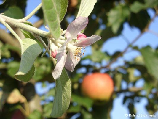 Apfel und Blüte zeitgleich am selben Baum