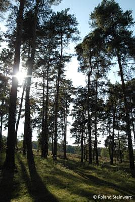 Kiefernwald in der Wahner Heide