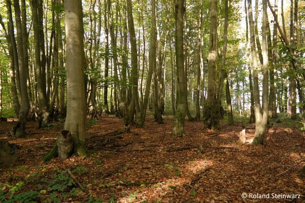Ehemaliger Rahmholzwald (Niederwald zur Produktion von Pfosten für Weinbau)