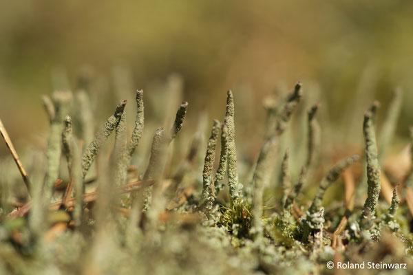 Flechten (Cladonia coniocraea)
