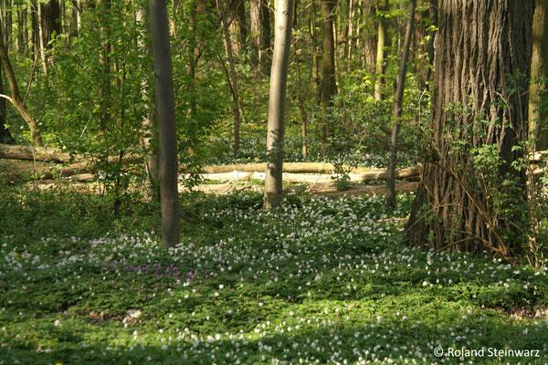 Weiße Buschwindröschen im Auwald bei Lülsdorf