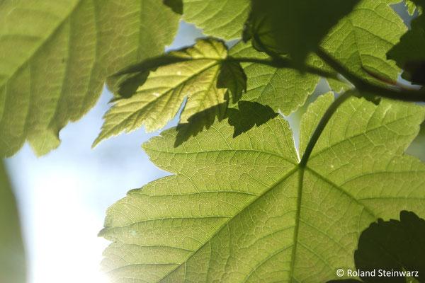 Blätter eines Bergahorns