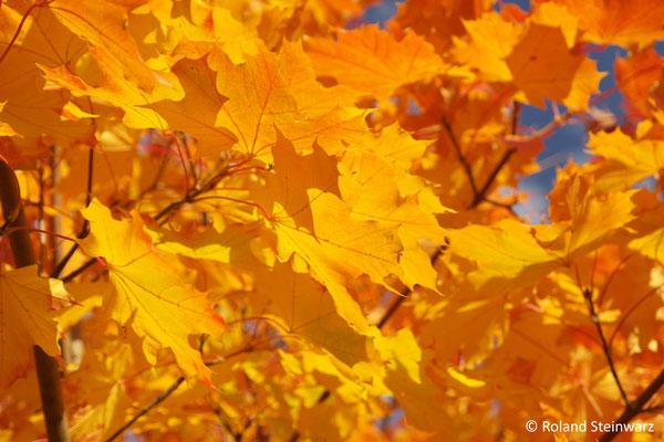 Herbstlaub eines Spitzahorns
