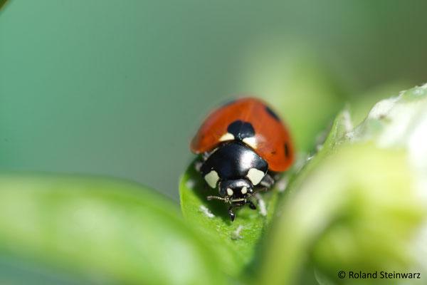 Marienkäfer auf der Jagd nach Blattläusen