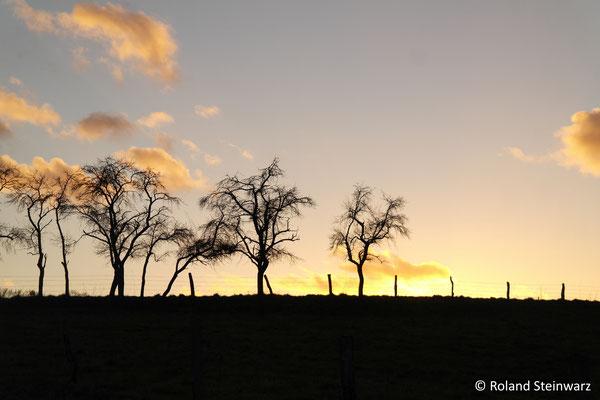 Pflaumenbäume