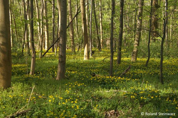 Auwald bei Lülsdorf mit Gelben Buschwindröschen