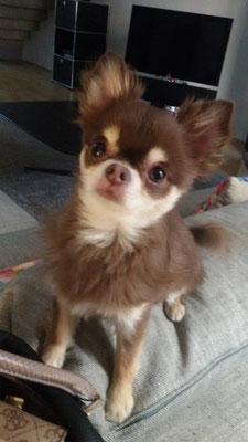 Hioda chihuahua 2 ans