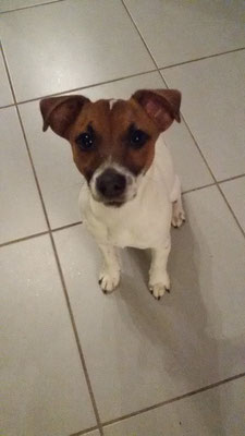 Jazzy jack russel 4 mois