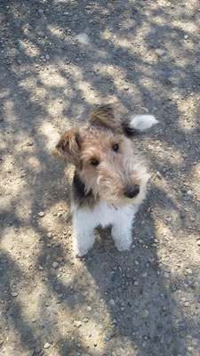 Jaro fox terrier 4 mois 1/2