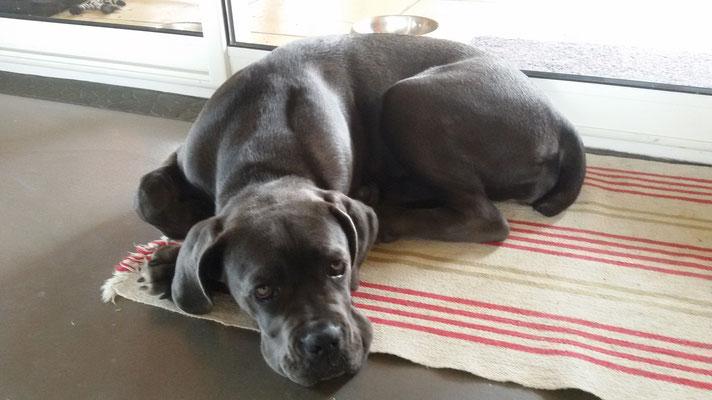 Jude cane corso 5 mois