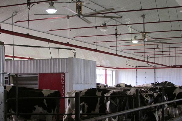 Les vaches se font traire quand elles en ressentent le besoin.