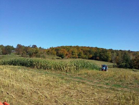 Ensilage de maïs (Crédit photo: Samuel Gadoury)