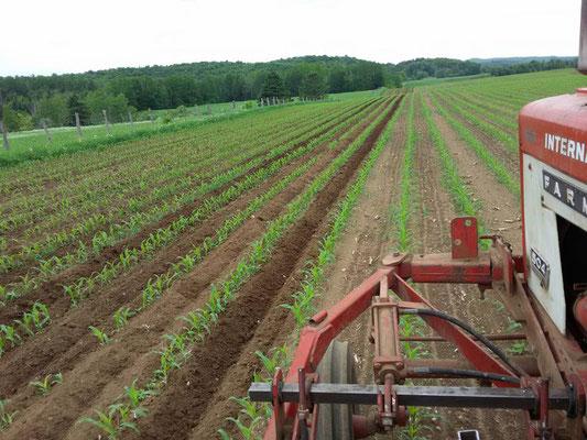 Sarclage du champ de maïs pour contrôler les mauvaises herbes (Crédit photo: Samuel Gadoury)