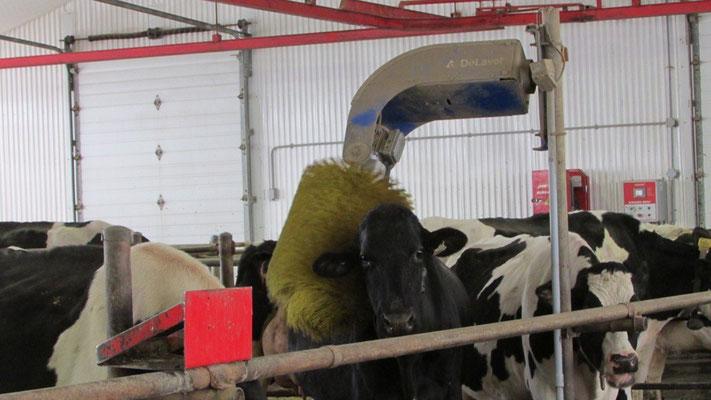 Vaches se font brosser quand bon leur semble. Crédit-photo: Claudette Morin