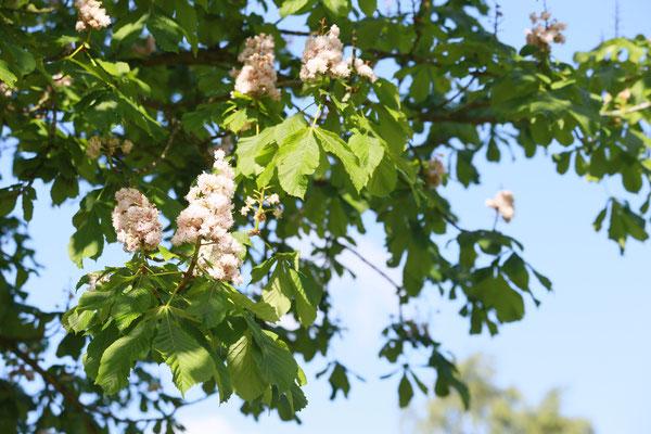 Kastanienblüte im Park