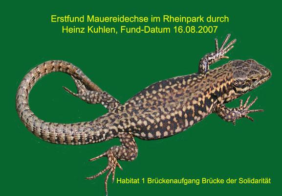 Erstfund einer Mauereidechse im Rheinpark. Aufnahme-Datum: 16.08.2007