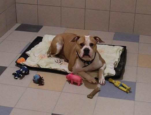 """Канди все время собирает все свои игрушки вокруг себя:) (Гостиница для собак """"Далматин.ру"""")"""