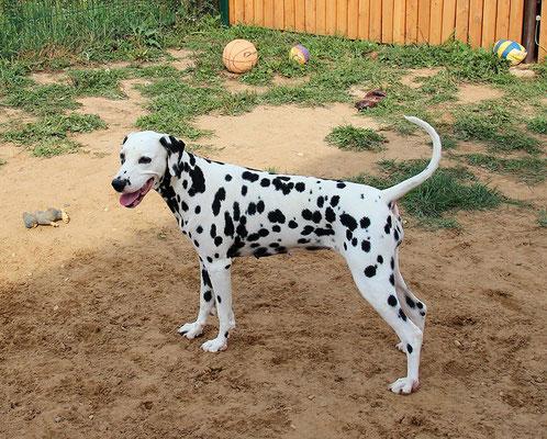 Лилу - самая добрая, общительная и гостеприимная наша собака:) Дружит практически со всеми, может развеселить и разыграть даже самого закоренелого буку:)