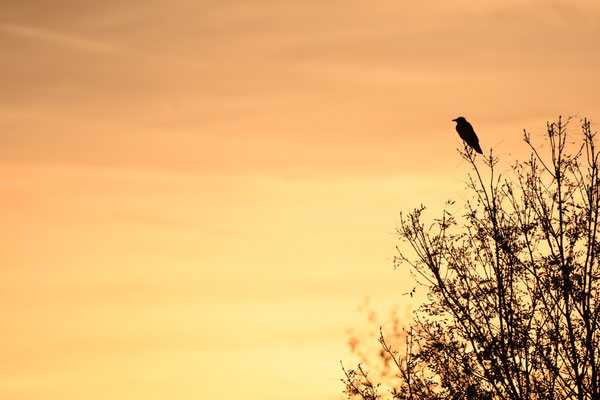 Nikon D7200, Sigma 150-600mm, ISO 640, 600mm, f/6.3, 1/3200, Raven in the sunset