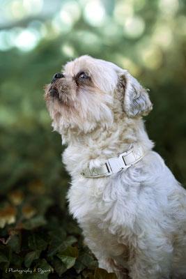 #shitsu #cute #dog #automne #chien