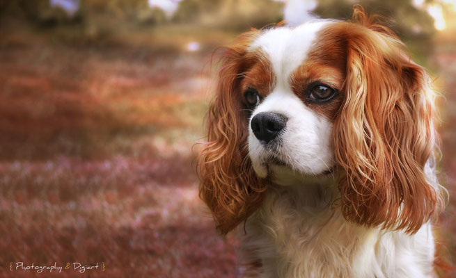 #Cavalier King Charles #cute #dog #automne #chien