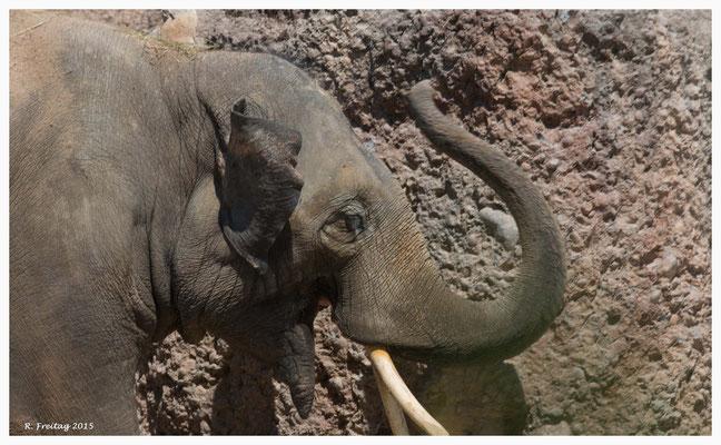 Thai - der zweite Elefantenbulle im Zoo Zürich (9228)