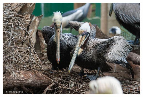 Verletze und kranke Pelikane finden hier ein neues zu Hause 487