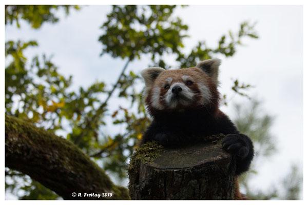 Roter Panda (5132)