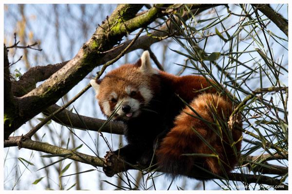 Roter Panda (716)