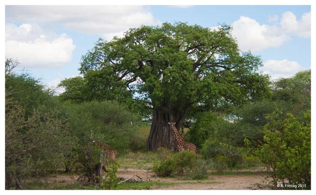 Baobab-Baum im Tarangire Nationalpark (3933)