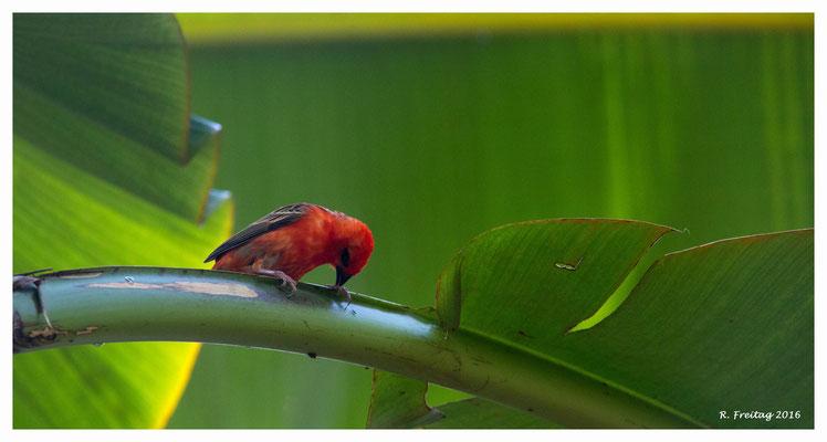 Madagaskar-Webervogel 8987