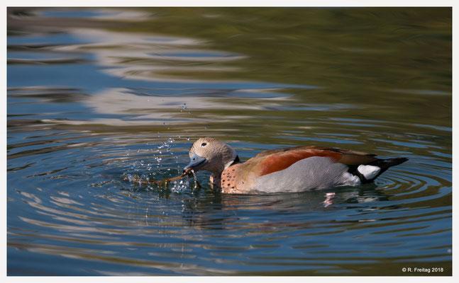 Rotschulterente - stammt aus Südamerika und ist hier nicht heimisch. Vermutlich ist diese Ente aus Privathaltung entwischt.