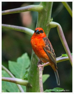 Madagaskar-Webervogel 9063