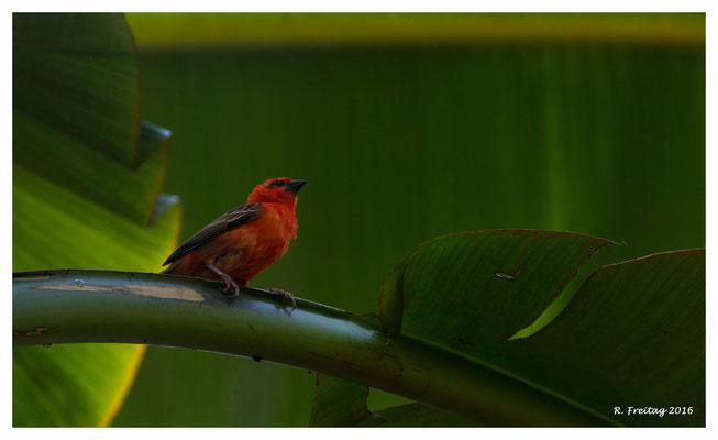 Madagaskar-Webervogel 8988