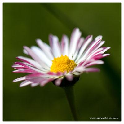 Gänseblümchen 7781