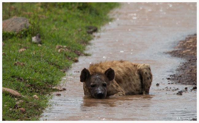 Hyäne im Ngorongoro-Krater, geniesst die Abkühlung in einer Pfütze (0064)
