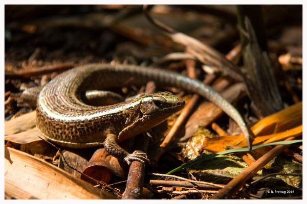 Madagaskar-Schildechse