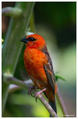 Madagaskar-Webervogel 9071