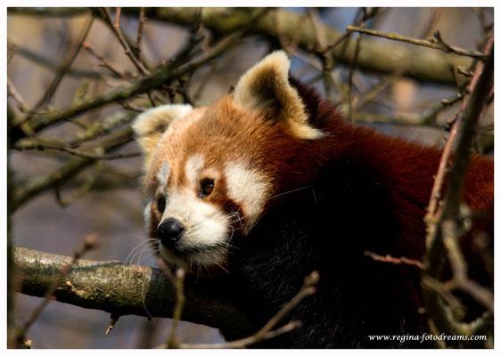 Roter Panda (809)