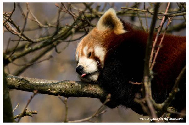 Roter Panda (805)